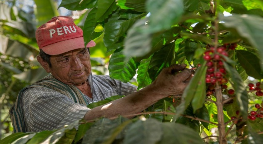 Fairtrade Fortnight Claudio Morales Machado picking coffee beans from a plant in San Miguel del Faique, Peru credit by Eduardo Martino